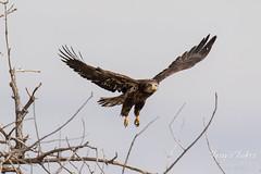 Juvenile Bald Eagle struggles to land - 7 of 27