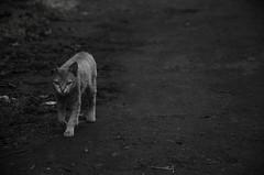 Being Tiger (saravanakumarg) Tags: india nikon flickr village lifestyle tamilnadu kodaikanal saravanan kodal indianstreetphotography nikonist d7000 nikond7000 d7000nikon saravananoliyovium