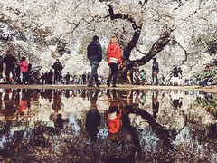 194/365 Cherry Blossoms (ewitsoe) Tags: street city reflection tree students mobile puddle couple citylife streetphotography cityscapes samsung reflected cherryblossoms puddles universityofwashington springmorning ewitsoe samsungmobilephotography