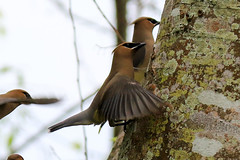 (Clics2Pics) Tags: birds animals places cedarwaxwing palmcoast palmcoasthomeandyard