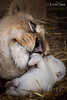 DSC_7464-1 (Linda Smit Wildlife Impressions) Tags: cats white nature animal cat mammal photography big nikon outdoor african wildlife birth lion d750 cubs endangered lioness bigcats cecil carnivore lioncubs givingbirth