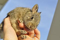 Rescue Bunny (dlholt) Tags: rabbit bunny flickr wildlife