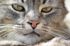 """Adorable nose..."" (Svetty2) Tags: cats nose ladycat"