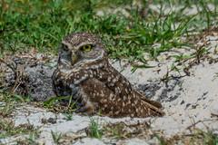 Just hanging out (Fred Roe) Tags: nature birds wildlife birding raptor owl birdwatching birdwatcher athenecunicularia burrowingowl nikonafsteleconvertertc14eii nikond7100 nikkorafs80400mmf4556ged lca71c6835 brianpiccolosportspark