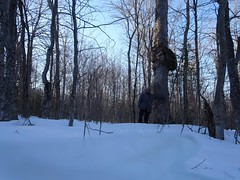 Tree with huge burl (thepiper351) Tags: forest woods woodlands north maine timberland