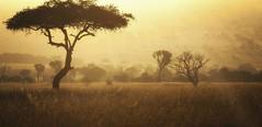 morning light over the Serengeti (charlesgyoung) Tags: africa morning sunrise tanzania nikon safari acacia d3 serengetinationalpark charlesyoung kleinscamp nikonfx nomadtanzania karineaignerphotographyexpedition