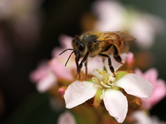 pollination time (quarzonero ...Aldo A...) Tags: nature spring bee pollination coth sunrays5