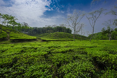 Tea Garden (Zahid - Thanks for the views ,Favs and comments) Tags: sky plant tree green skyline garden landscape leaf bright tea outdoor vibrant hills mm hillside teagarden sylhet bangladesh 1424 goliage nikond810