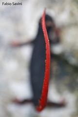 Salamandrina perspicillata (Fabio Savini) Tags: park parco photo fabio national endemic appennino occhiali savini nazionale savi salamandrina perspicillata naturalistic foreste appennine casentinesi endemica dagli unkenreflex