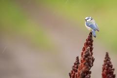 La belle sous la pluie (bga92) Tags: pluie oiseau msange msangebleue
