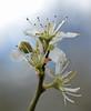 just past peak (conall..) Tags: flower river blackthorn prunus sloe prunusspinosa spinosa annacloy 310316