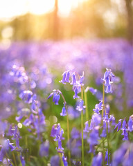 Blue bokeh (chasingthe_stars) Tags: flowers blue light sunset wild sun flower macro tree closeup bluebells forest canon woodland 50mm golden evening countryside woods warm soft glow dof purple bokeh pastel depthoffield delicate forestfloor bluebell goldenhour circularpolarizer leefilters