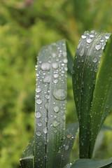fili d'erba (maresogno67) Tags: verde green nature campagna erba rugiada pioggia goccia