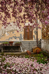 Magnolia (Lord Markus) Tags: pink flowers italy house muro abandoned primavera wall casa spring nikon rust italia decay blossoms sigma piemonte magnolia 1020 abandonment langhe asti abbandono abbandonata montafia bagnasco d300s