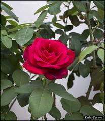 Red Rose IZE_15451 (Zachi Evenor) Tags: flowers roses flower rose garden israel gardening april mygarden    2016 rosea            zachievenor