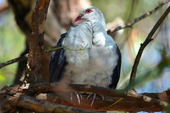 White-headed pigeon Male (Australia) (|kris|) Tags: iris red wild orange white tree male green bird eye feet nature animal yellow forest grey bill wings rainforest sitting purple outdoor head pigeon wildlife beak feathers australia aves ring nsw newsouthwales perched australien eastern vogel plumage duif columba australi columbidae chordata whiteheadedpigeon columbaleucomela columbiformes pigeonleucomle palomablanquinegra pigeontteblanche cleucomela vithuvadduva  witkopduif dronningdue