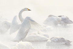 Angel's Wings (Charlotte Hamilton Gibb) Tags: white mist birds swan wildlife mysterious whooperswan