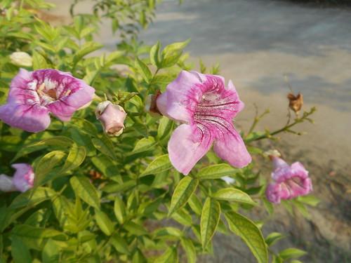 Podranea ricasoliana (Tanfani) Sprague Bignoniaceae-pink trumpet vine, แฮปปี้เนส