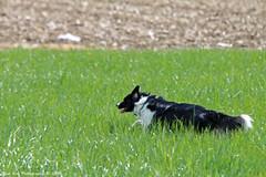 A Walk with dogs 24-4-2016 (Rick & Bart) Tags: dogs nature canon belgium walk tess limburg zoutleeuw haspengouw honden geetbets rickbart rickvink eos70d wandelingzoutleeuw