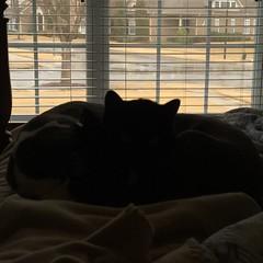 Rainy Day Nap (ShanMcG213) Tags: cats ava cat blackcat nap huntsville alabama catnap lazy ilovemycat sleepyhead cina sleepycat blackandwhitecat lazycats huntsvilleal whiteandblackcat snugglebuddies cuddlebuddies ihearthsv