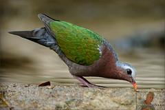 20160407-GUY_4320-DOVE-Emerald-male (guy.miller) Tags: hk guy birds island dove hong kong miller lamma emeral
