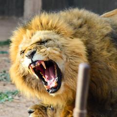 Rugido (@_gatob) Tags: africa lion len sabana salvaje rugido