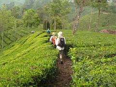Through the plantations.... (Jackie & Dennis) Tags: munnar teaplantations rwh ramblersworldwideholidays