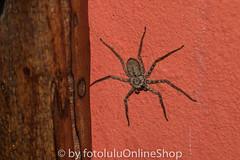 Argentinien_Insekten-57 (fotolulu2012) Tags: tierfoto