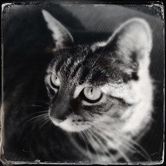 Mick (LiesBaas) Tags: bw cat pussy kitty poes kater tomcat mickie iphone zw liesbaas hipstamatic