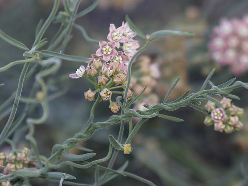 Hairy Milkweed (Funastrum hirtellum), Tierra Blanca Mountains, Anza-Borrego Desert, CA, 3-19-16 B