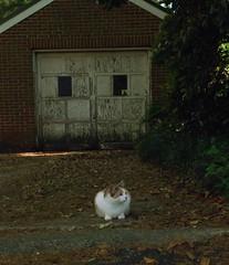 Gracie Jo takes her shift as neighborhood watchcat (1 of 3) (rootcrop54) Tags: female cat chat garage dilute kitteh calico  macska neighbor gatto katzen kot koka kedi neighborhoodwatch katt kissa kttur maka kucing   kat  maek kais pisic gorbe graciejo