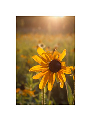Lovely Susan Shines - Black-eyed Susan (The Visioneer) Tags: plant flower nature field sunshine flare blackeyedsusan