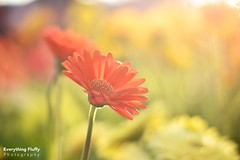 DSC_0072 (Fluffphoto) Tags: flowers sunset sunlight golden lowes