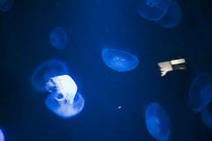 DSC_1204 (mccracken_molly) Tags: california travel blue colour reflection aquarium jellyfish sandiego