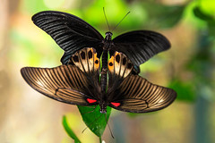 Butterfly Mating (Krunja) Tags: brown love field animal sex butterfly insect wings couple romance mating dual breed mate winged suspend