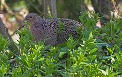 M4109245sm (Preselector) Tags: pheasant rspb leightonmoss suttoncoldfieldrspb