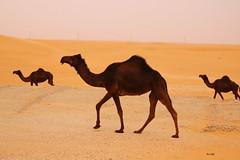 Meanwhile in the Desert! (Amro Afifi) Tags: summer sun sand desert group camel platinumheartaward amroafifi