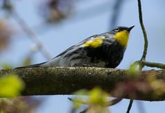 Yellow-rumped Warbler (Setophaga coronata) (ekroc101) Tags: birds vancouver bc coalharbour yellowrumpedwarbler setophagacoronata