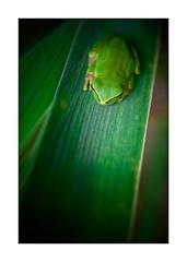 Big Green #2 (kougnoff) Tags: macro nature canon couleurs fullframe grenouille rainette 50mmmacrosigma