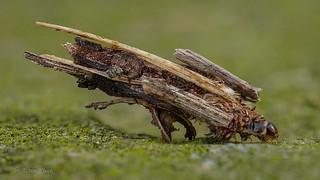 Sackträger (Psychidae) - Raupe
