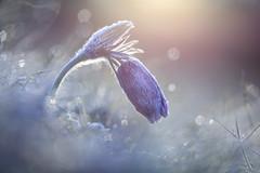 Frosty Pasque Flower (Daniel Trim) Tags: uk england sun cold flower macro nature night sunrise spring bokeh frosty april rise pasque