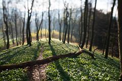barrier (w-venne) Tags: trees berg buchenwald spring pflanze tilt bume sonnenaufgang schatten weg frhling beechwood teutoburgerwald brlauch frhblher schift