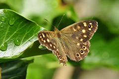 Bonte zandoogje - Explored (ericzijnfotoos) Tags: insect insekt bontzandoogje nikond90 nikon18105mmvr
