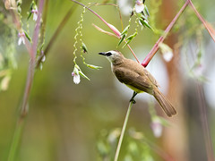20160401-EM1X5109 (shutterblades) Tags: bird bulbul gardensbythebay olympusem1 olympusmzuiko300mmf4pro