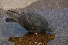 Pigeon (Mone-Photography) Tags: bird pigeon duif