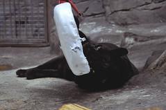 Black panther (kateshamova) Tags: black animal zoo moscow panther москва черная зоопарк животное пантера