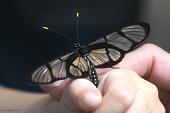 Captured Glasswing #3 (michaelramsdell1967) Tags: light black detail macro love nature glass beauty butterfly garden insect photography three photo spring hands nikon focus natural bokeh cincinnati wing butterflies insects human photograph zen mariposa possession nky