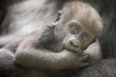 2016-04-27-11h21m20.BL7R4435 (A.J. Haverkamp) Tags: amsterdam zoo gorilla thenetherlands shae artis dierentuin shindy httpwwwartisnl dob03061985 pobamsterdamthenetherlands pobrotterdamthenetherlands canonef100400mmf4556lisiiusmlens dob21012016