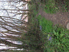 DSCF3543 (Kira Jones Designs) Tags: wood bluebells path
