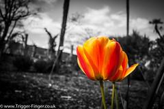 Storm Coming (G Cullen) Tags: red orange storm flower colour grass gardens partialcolor dyffryngardens partialcolour